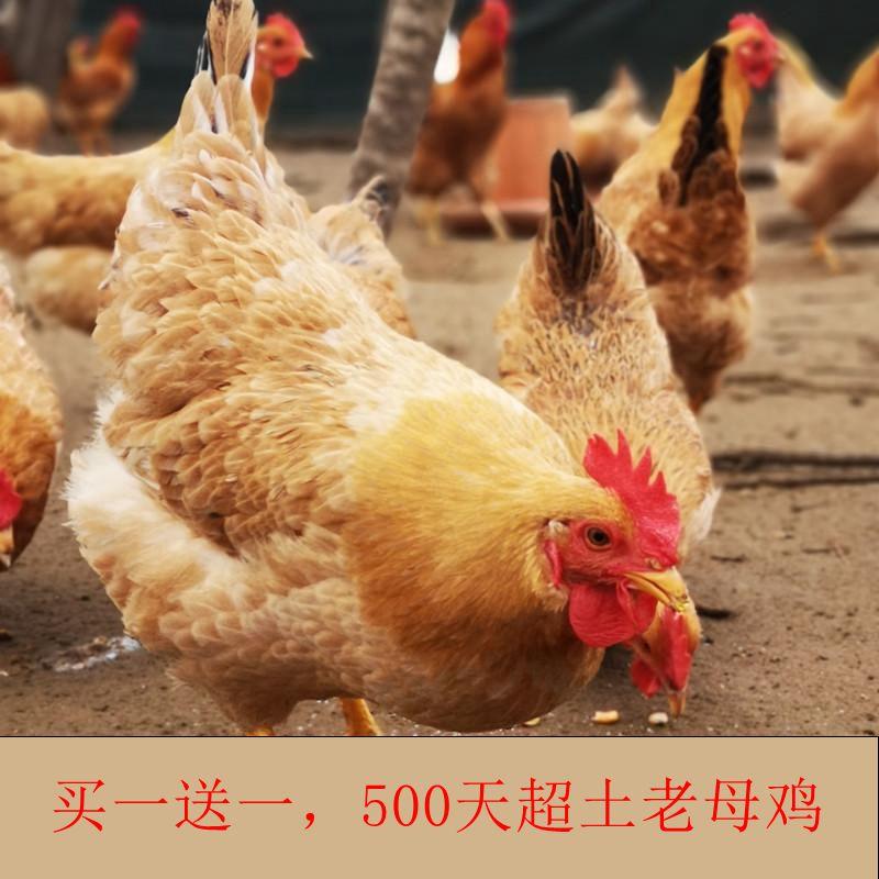 生态散养老母鸡2只共5斤 39.9元包邮
